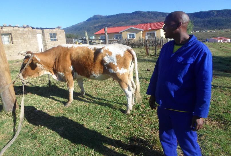 Lunga, the project leader receiving a cow that was donated and we won't say what happened later on!!